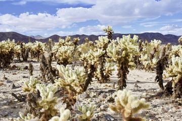 Cholla Desert Garden
