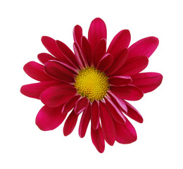 red daisy flower on a white background