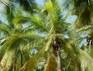 Tropical coconut palm tree background beautiful summer nature with sky.