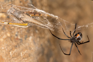 Black widow spider with prey