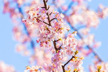 Kawazu cherry blossom.The shooting location is Tokyo, Japan.