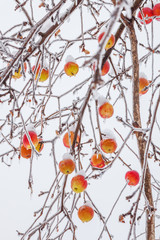 Frozen apple tree branches with bright apples