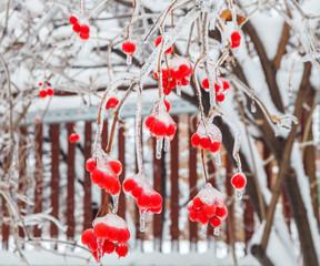 The frozen bunches of viburnum