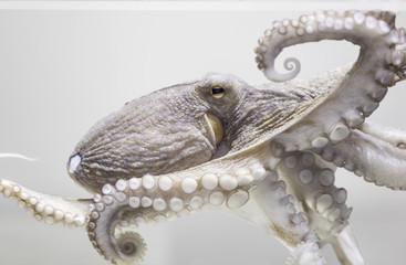 Common octopus in aquarium