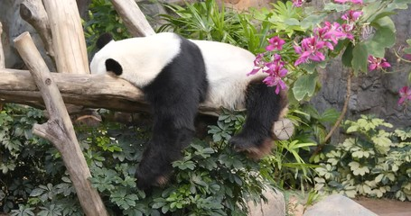 Fototapete - Panda sleeping on the wood