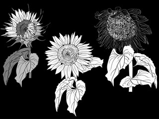 three white sunflower outlines isolated on black