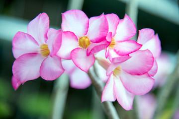 Obesum adenium flowers in garden for background