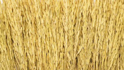 Close up of a dry ear of rice for a background.