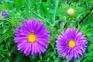 Beautiful purple asters on the green as a background image.