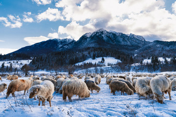 Rural landscape with herd of sheep in the winter mountain