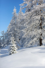 Fototapete - Snow-covered forest in mountains