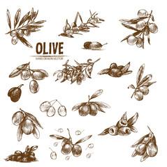 Digital vector detailed line art olive