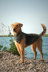 Airedale terrier with scarf at a lake