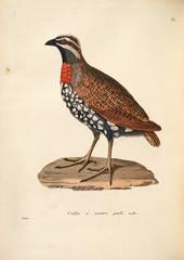 Birds pheasants.