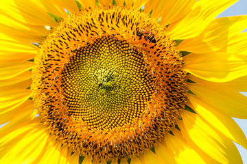 Closeup beautiful sunflowers garden natural background. Summer landscape.