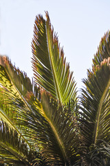 View from below on a palm tree list, against the sky, Lanzarote Canary Islands