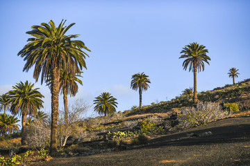 Palm trees growing on Lanzarote, Canary Islands.