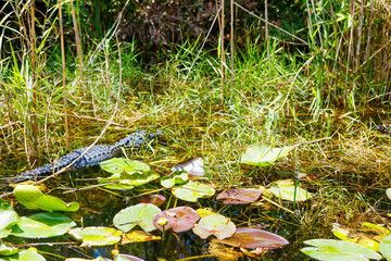 American Alligator in Florida Wetland. Everglades National Park in USA.