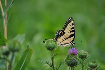 Butterfly Feeding on a Flower in a Field