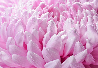 Petals of large pink chrysanthemums in dewdrops close-up.