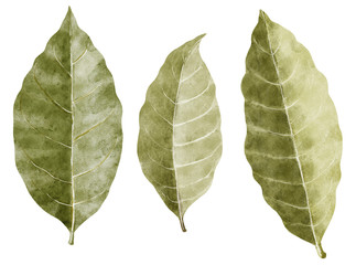 Bay leaf watercolor illustration, isolated on white