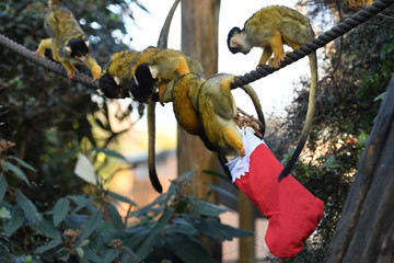 Squirrel Monkeys in London Zoo look for treats inside a Christmas stocking in their enclosure in London