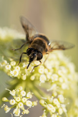 Hover-fly, Hoverfly, Fly, Flies