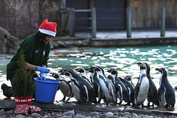 A keeper feeds the penguins beside a Christmas tree at London Zoo, in London