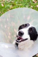 Cute dog in a cone