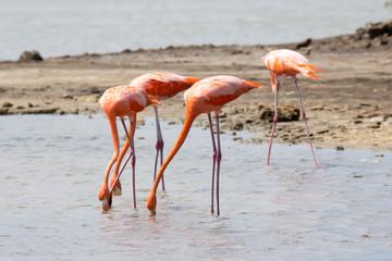 Flamingos futtern im See