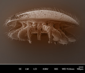Varroa destructor bee parasite - an electron scanning microscope photo - Magnification 55x