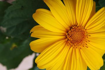 Beautiful Yellow Flase Sunflower