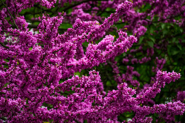 Beautiful springtime closeup background. Judas tree blossom