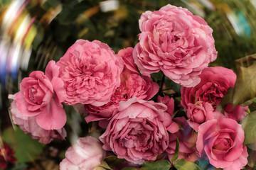 beautiful pink rose bush in the garden blurred background bokeh