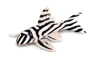 Zebra Pleco L-046 Hypancistrus zebra Plecostomus aquarium fish
