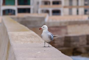 Curious seagull on a harbor wall mallorca