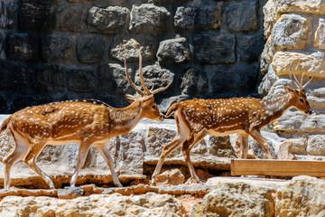 Wild Gazelle Jumping On Rocks
