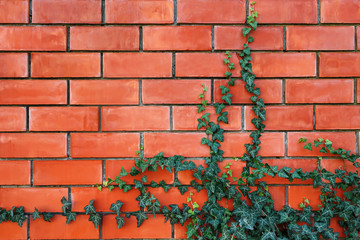 ivy plant on a red brick wall.