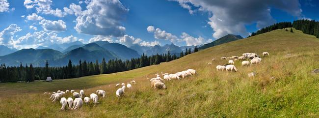 Fototapeta Wypas owiec na Rusinowej Polanie obraz