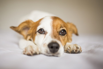 cute white and brown small dog sitting on bed and feeling tired. Home, pets indoors