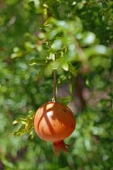 Granatapfel (punica granatum) am Baum