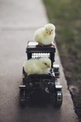 Two little chicken driving a little truck