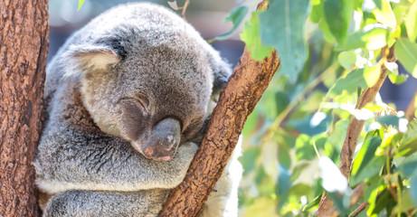 in  australia  the typical free animal  the koala