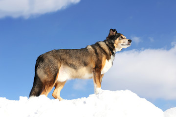 German Shepherd Mix Breed Dog is King of the Mountain on Snowy Hill
