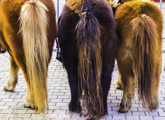 Three ponies are turned with their backs and show their long tails.
