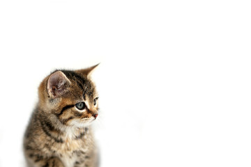 Grey Domestic Shorthair Tabby Cat Kitten Sitting the the Snow with White Background