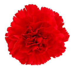 A long red carnations