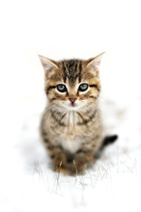 Grey Domestic Shorthair Tabby Cat Kitten sitting in the Snow Looking at Camera