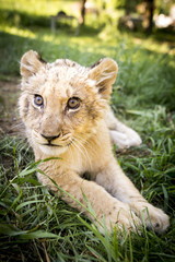Cute young lion cub on grass