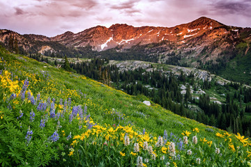 Wall Mural - Summer wildflowers in the Wasatch Mountains, Utah, USA.